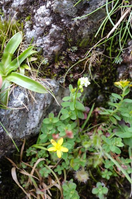 屋久島の植物モウセンゴケの花