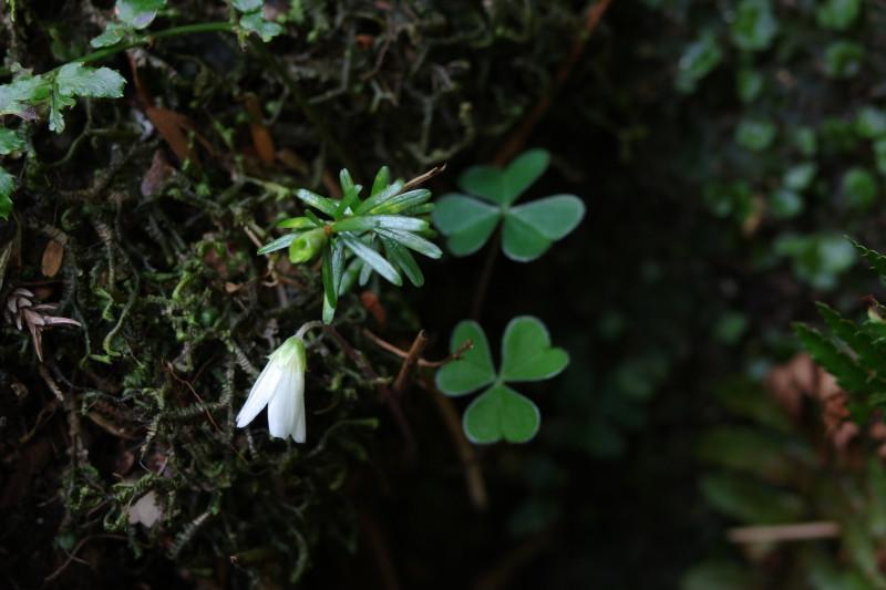 屋久島植物コミヤマカタバミ、黒味岳登山コースにて。