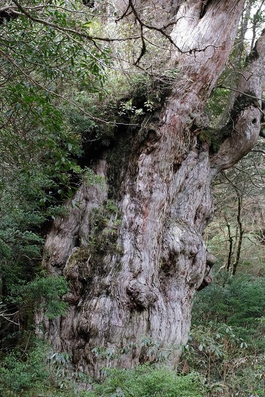屋久島縄文杉