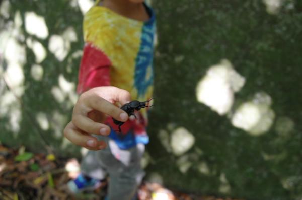 屋久島のカブトムシ