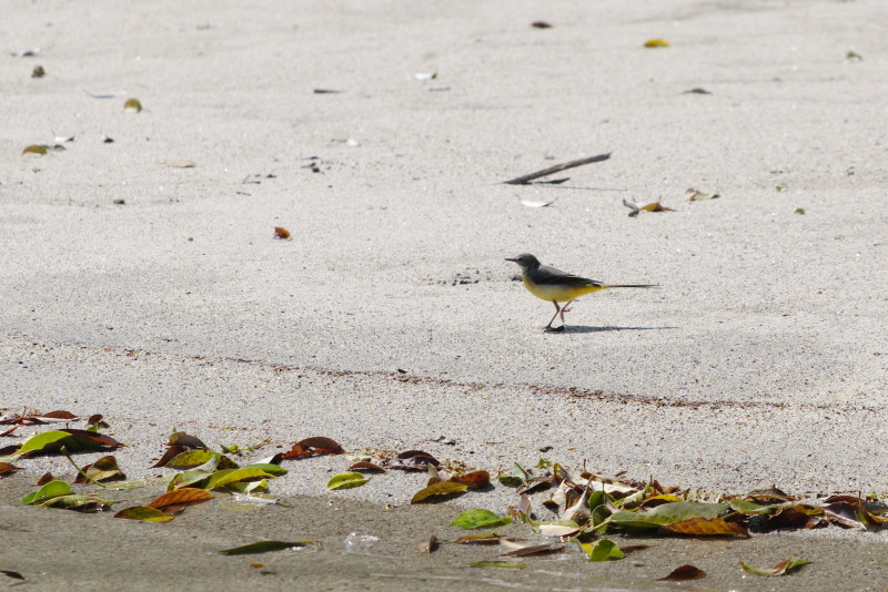 屋久島の野鳥キセキレイ