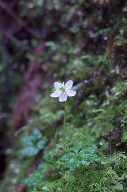 屋久島の植物オオゴカヨウオウレン