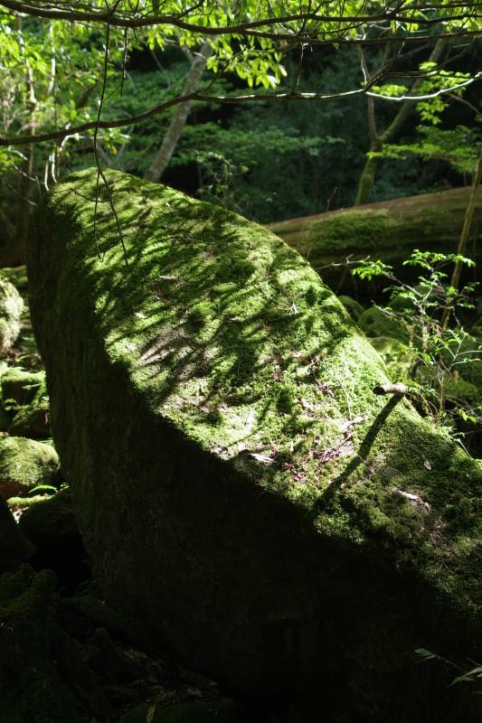 屋久島コケと木漏れ日