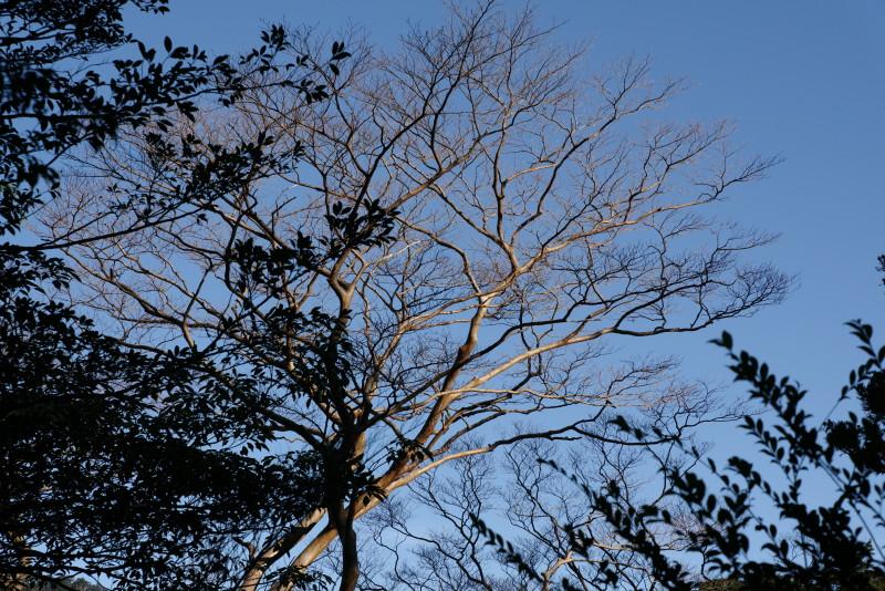 ヤクスギランドのヒメシャラの木