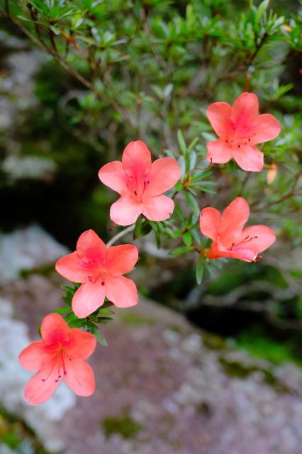 屋久島の植物、サツキ