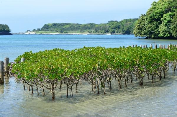 屋久島のマングローブ林
