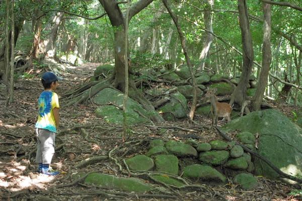 屋久島の森でヤクシカに出会う