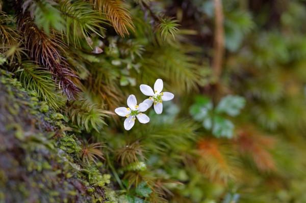 屋久島春の花オオゴカヨウオウレン