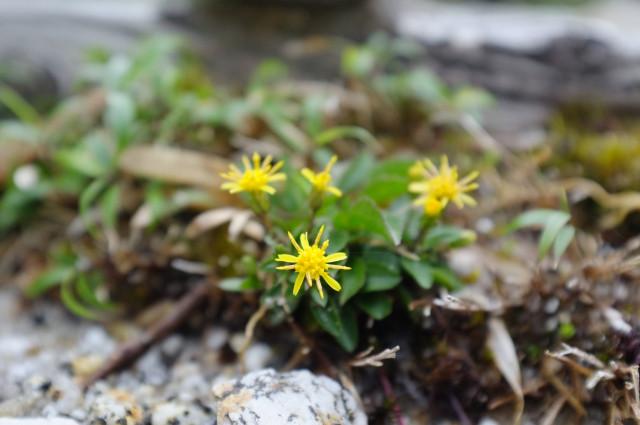 屋久島の高山植物イッスンキンカ