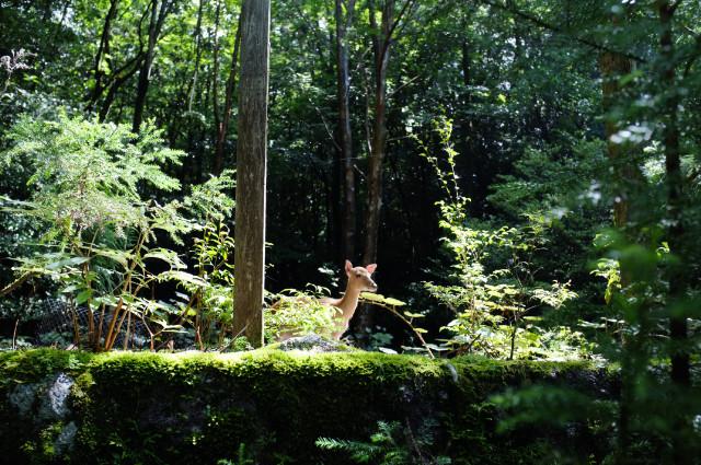 屋久島小杉谷のヤクシカ