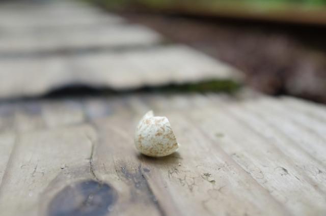 屋久島野鳥の卵