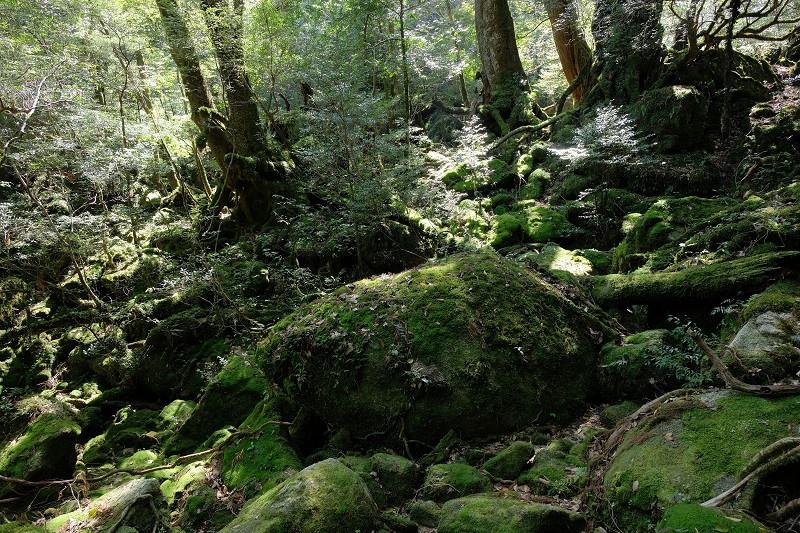 白谷雲水峡苔むす森