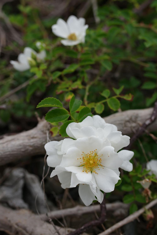 屋久島の植物・花テリハノイバラ