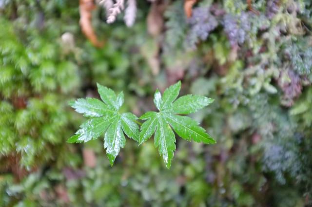 屋久島コハウチワカエデの幼木