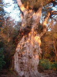 朝日のあたる縄文杉