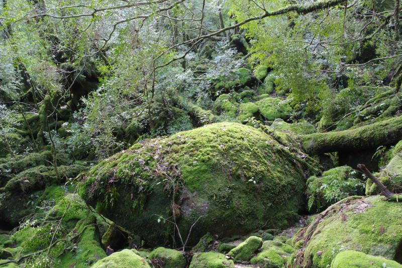 屋久島白谷雲水峡ガイドツアー苔むす森
