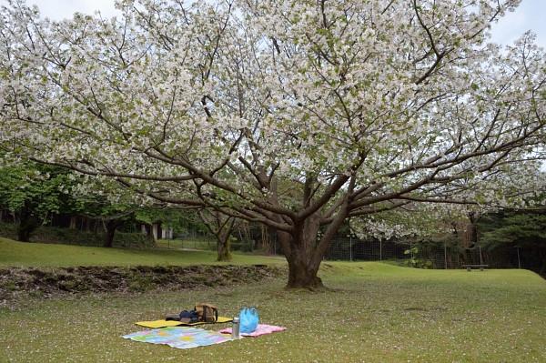 屋久島宮之浦桜の木