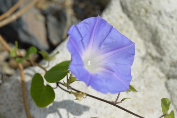 屋久島の植物ノアサガオ