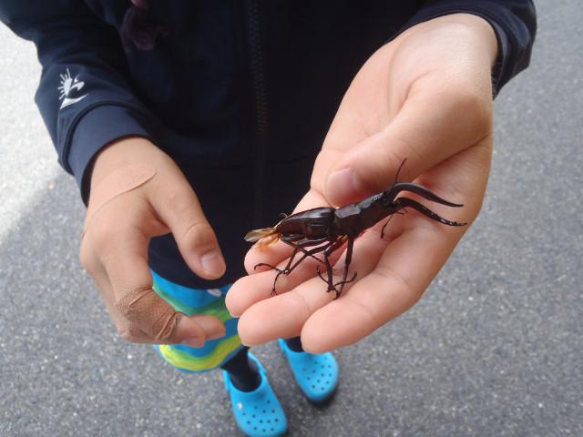 屋久島の昆虫、クワガタ