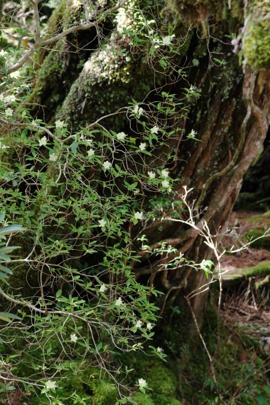 屋久島植物ヒカゲツツジ、黒味岳登山コースにて。