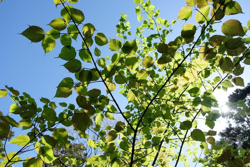 屋久島の植物ヤクシマオナガカエデ