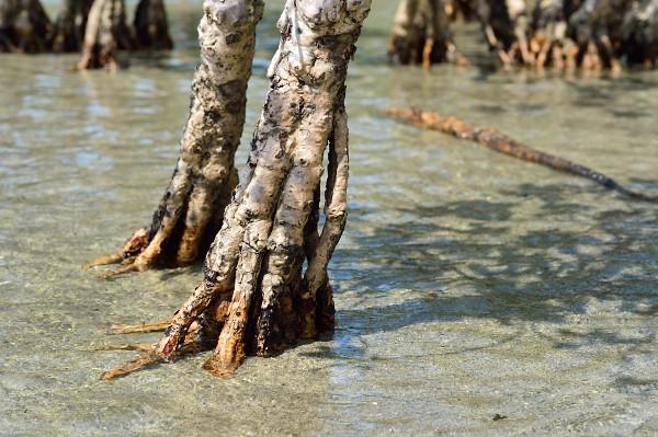 屋久島メヒルギの支柱根