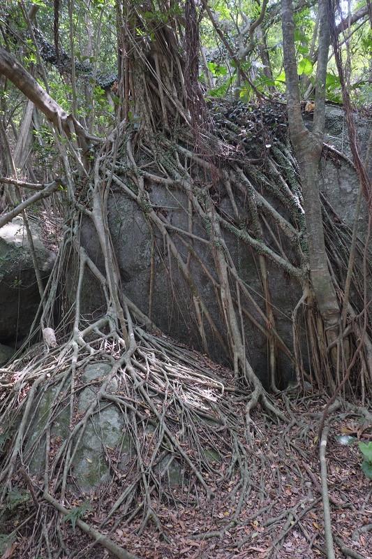 屋久島ガジュマルの木
