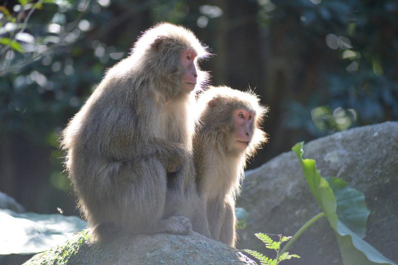 屋久島生き物サル