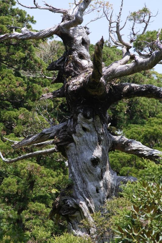 屋久島小花之江河の白骨樹