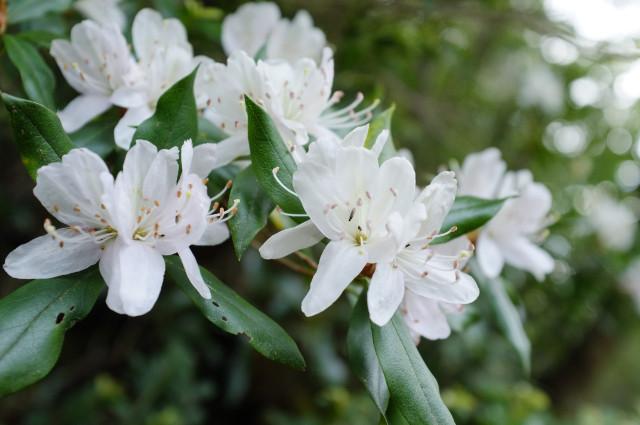 屋久島の植物、サクラツツジ