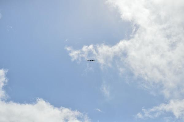 屋久島の鳥トンビ