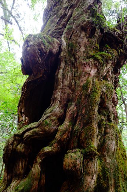 屋久杉ランドの仏陀杉