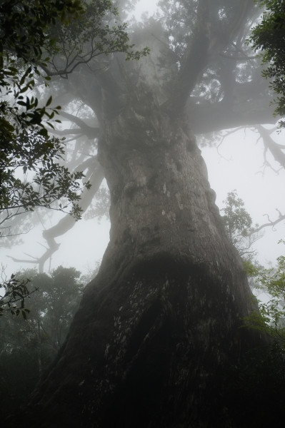 屋久島の屋久杉万代杉