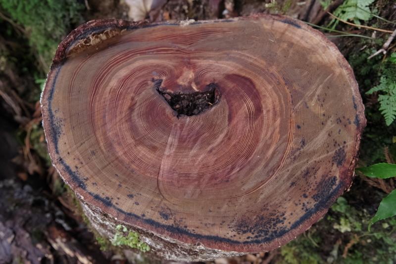屋久島ヤクスギランドの樹木の年輪
