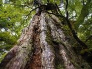 屋久杉の天然林