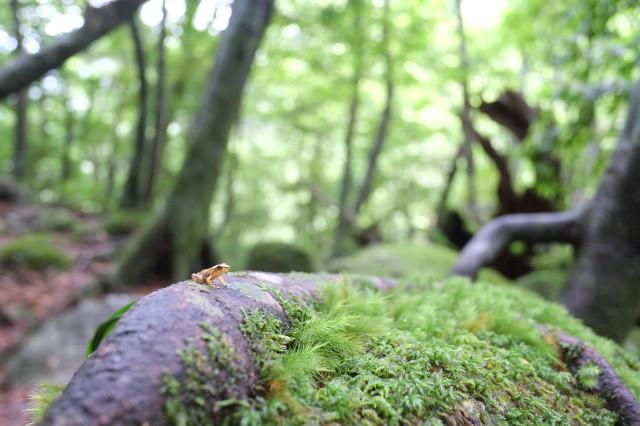 屋久島白谷雲水峡でカエルと出会い