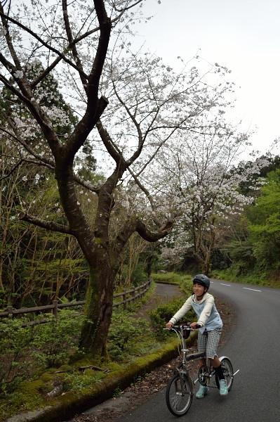 屋久島桜並木をサイクリング