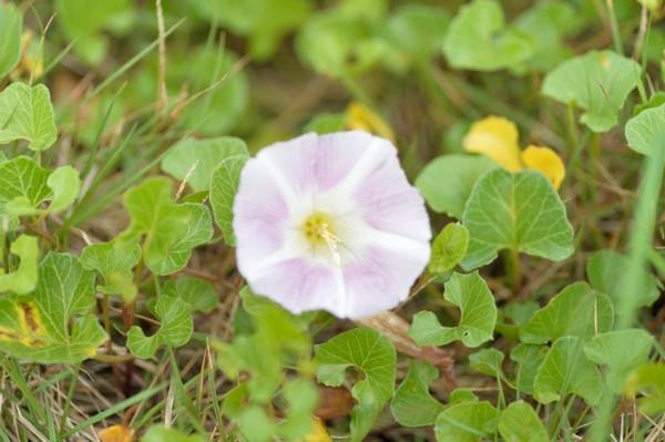 屋久島の植物ハマヒルガオ