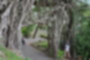 屋久島中間のガジュマル.jpg