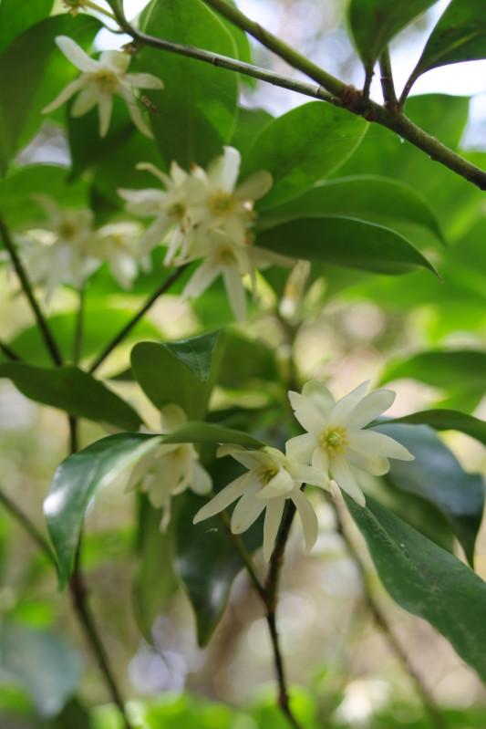 屋久島植物シキミ、黒味岳登山コースにて。