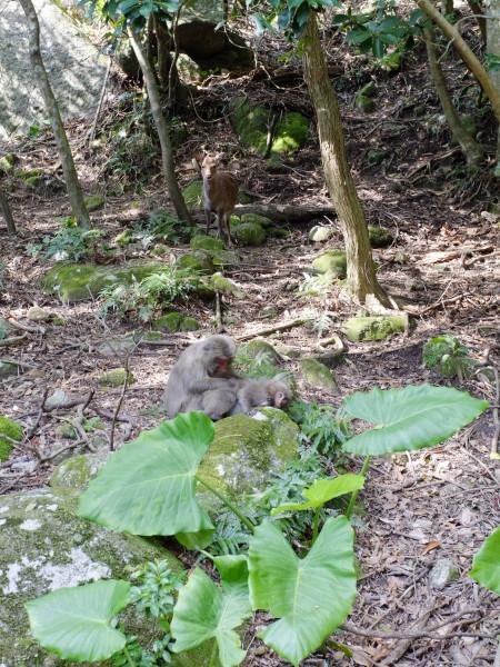 屋久島世界遺産の森の中でヤクザルとヤクシカ