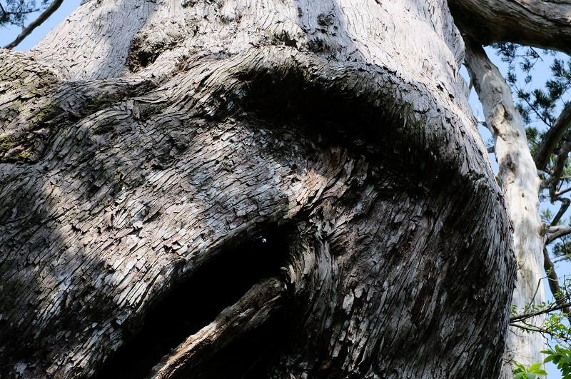モッチョム岳の万代杉