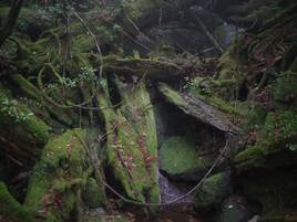 残された屋久杉の倒木達