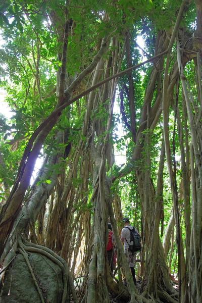 屋久島ガジュマルの大木