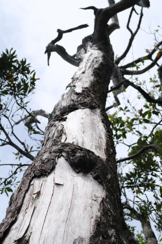 屋久島白骨樹