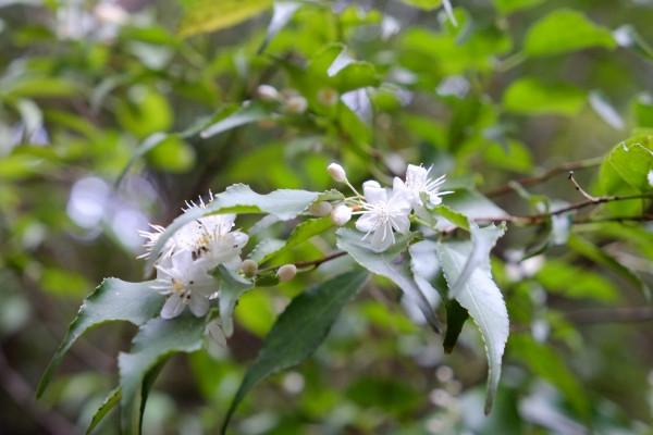 屋久島の花、ハイノキ