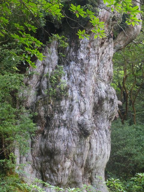 縄文杉の木肌