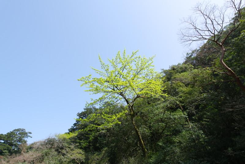 屋久島の新緑ヤクシマオナガカエデ