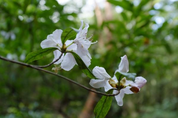 屋久島の植物サクラツツジ