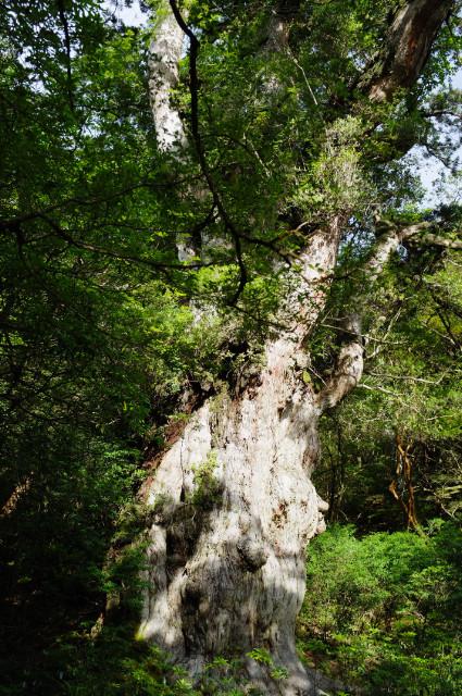 早朝の縄文杉